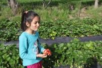 MEHMET BAYıNDıR - Sason'da Çilek Hasadı Devam Ediyor