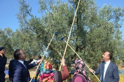 Mudanya'da Zeytin Hasadı Başladı