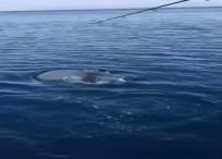 Oltadaki Balon Balığı Kapıp Kaçtı