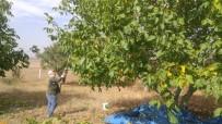 Yozgat'ta Ceviz Hasadı Başladı