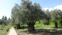 (Özel) 810 Yıllık Zeytin Ağacı Turizme Hizmet Ediyor