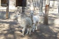 Tarsus Hayvan Parkında Tür Sayısı Alpaka Ve Koati İle 83'E Ulaştı