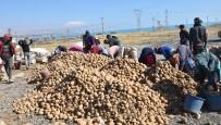 Türkiye'nin Yüzde 17'Lik Patates Tohumu İhtiyacını Ahlat Karşılıyor