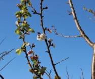 KÜRESEL İKLİM DEĞİŞİKLİĞİ - Yalancı Baharın Yalan Çiçeği