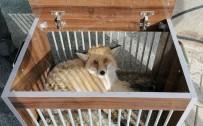 Yaralı Kızıl Tilki İle Puhu Tedavi Altına Alındı