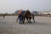 DEVE GÜREŞLERİ - Burhaniye Deve Güreşleri Havut Töreni Yapıldı