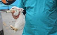 KÜÇÜKÇEKMECE BELEDİYESİ - (Özel) Köpeğin Isırarak Yaraladığı Tavşan Yeniden Hayata Tutundu
