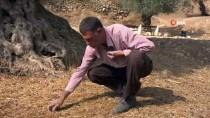 İŞGAL - Zeytin Hasadını Sürdüren Filistinli Çiftçiler, Yahudilerin Yağmalamasından Tedirgin