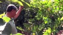 Mardin Ovasında Akdeniz İklimi Meyveleri Yetiştiriyor