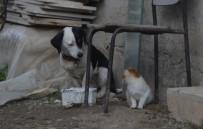 HAYVAN SEVGİSİ - Köpek Kediyi Emzirip, Annelik Yapıyor