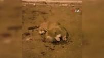 Vicdansız Sürücü Çarptığı Kediyi Yaralı Bırakıp Kaçtı