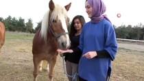 1 MAYıS - Yıllarca Faytona Koşulan Atlar Şimdi Kuş Sütüyle Besleniyor