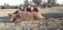 Bursalı Avcılar 252 Kiloluk Yaban Domuzu Vurdu