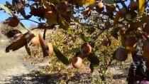 MEHMET KARAKAYA - Manisa'nın Organik Muşmulasına Yoğun İlgi