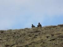 KURBAĞA - Nesli Tehlike Altında Olan Kara Akbabalar Bayburt'ta Görüntülendi