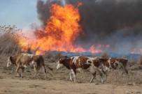 BÜYÜKBAŞ HAYVANLAR - Vatandaş, Yangından Kaçan Domuzdan Kurtulmak İçin Direklere Çıktı