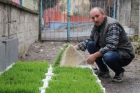 YANıLMA - Merak Edip Araştırdı, Hayvanları İçin Topraksız Buğdaydan Çim Üretmeye Başladı