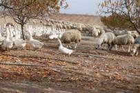 Yabancı Otlarla Mücadelede Kaz Ve Koyun Kullanıyorlar