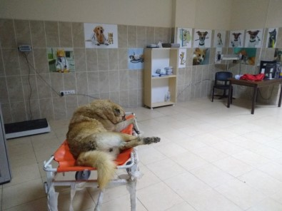 Erciş Belediyesi Yaralı Köpek İçin Seferber Oldu
