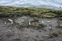 OLTA - Antalya'da Ölü Balıklar Sahile Vurdu