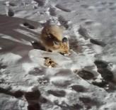 Aç Kalan Tilkiyi Vatandaşlar Besledi