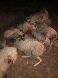 Isparta'da Kurtların Saldırdığı 20 Küçükbaş Hayvan Telef Oldu