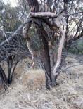 Dev Yılanı Öldürüp Ağaca Astılar