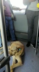 (Özel) Sevimli Köpeğin Metrobüs Yolculuğu Kamerada