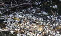 BALIK ÖLÜMÜ - (Özel) Bursa'da Yine Çevre Felaketi...Manyas'tan Doğan Kara Dere'de Binlerce Balık Öldü