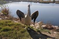 Tedavileri Tamamlanan Kızıl Tilki Ve Pelikan Doğaya Salındı