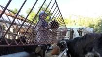 KURBAN BAYRAMı - Keçilerle İç İçe Yaşam Süren Elmalılı Rabia'nın Hayali Veterinerlik