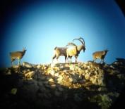 KURAN KURSU - Adıyaman'da Dağ Keçisi Envanteri Tamamlandı