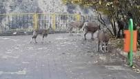 Yaban Keçileri  Sürü Halinde İlçeye İndi