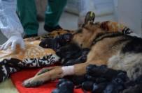 DOĞUM SANCISI - Mersin'de Bir Köpek Sezaryenle 16 Yavru Doğurdu