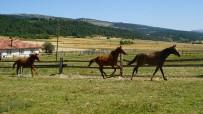 GAZİ KOŞUSU - 4 Bin Nüfusu Bulunan Bu İlçe, Hipodromun Şampiyon Atlarını Yetiştiriyor