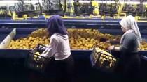 PORTEKIZ - Limonda Verim Azaldı