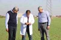 KIRAÇ - Ahmet Buğdayı Anadolu Topraklarında Yeniden Hayat Bulacak