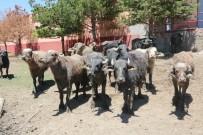 Yozgat'ta Manda Sayısı 4 Kat Arttı