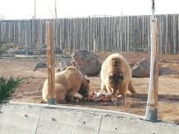 HAYVANAT BAHÇESİ - Anadolu Harikalar Diyarı Hayvanat Bahçesi Müdürü Bacak Açıklaması