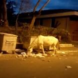 Büyükada'da Atların Çöpte Yemek Ararken Çekilen Görüntüleri İçleri Sızlattı