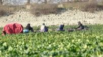 Kuruyan Gölde Ispanak Yetiştirip Türkiye'ye Satıyorlar