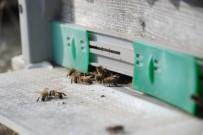 Mevsimleri Şaşıran Bal Arıları, Kovanlarına Girmiyor