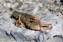 VAN YÜZÜNCÜ YıL ÜNIVERSITESI - Van Gölü'nde İlk Kez Görüldü Açıklaması İnci Kefali İçin Büyük Tehlike