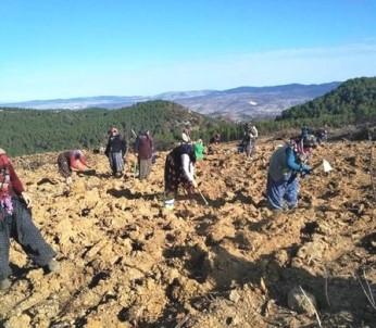 Gediz'de Yanan Orman Alanına 6 Bin 500 Fidan Dikildi