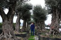 ZEYTİN AĞACI - (Özel) 500 Yıllık Zeytin Ağacı 25 Bin Lira