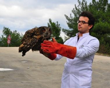 (Özel) Tedavisi Tamamlanan Avrasya Kartal Baykuş'u Doğaya Salındı