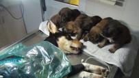 YAVRU KÖPEKLER - Yavruları, Tüfekle Vurulan Av Köpeğinin Başından Ayrılmadı