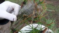 EVCİL HAYVAN - (Özel) İstanbul Ormanlarında Çam Kese Böceği Alarmı