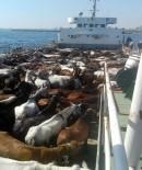 Ruam Hastalığına Geçen Yıl Adalara Sevk Edilen Atların Neden Olduğu İddia Edildi