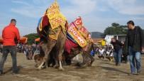 Burhaniye'de Hafta Sonu Deve Güreşi Var